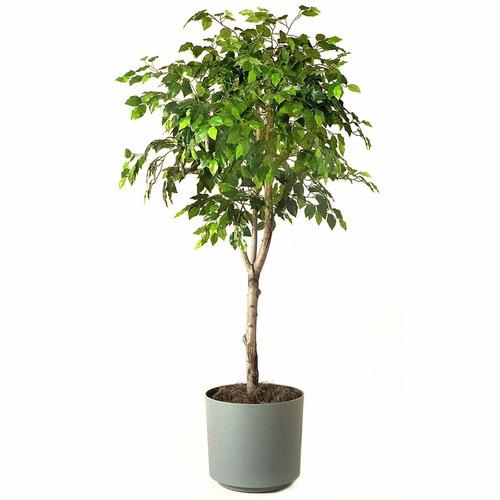 Ficus benjamina en mercado libre - Ficus benjamina precio ...