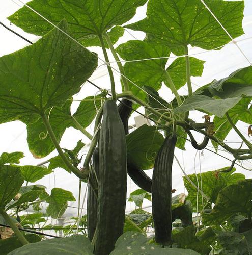malla tutora para soporte de hortalizas 1.5x1500 m